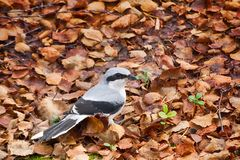 Free Great Grey Shrike In Search Of Food Stock Image - 108746581