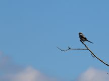 Great Grey Shrike (Lanius excubitor). This is an image of a Great Grey Shrike perched on a twiggy branch against a backdrop of a blue sky with some white clouds Royalty Free Stock Images