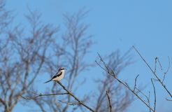 Great Grey Shrike (Lanius excubitor). This is an image of a Great Grey Shrike perched on a twiggy branch against a backdrop of out of focus winter trees and a Stock Photos