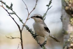 Great grey shrike. Lanius excubitor perching on a birch tree Stock Image
