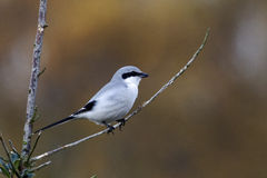 Great-grey shrike, Lanius excubitor Royalty Free Stock Photography