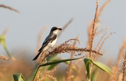Great grey shrike Royalty Free Stock Photography