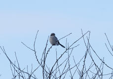 Great grey shrike. Of prey sitting on a tree branch Royalty Free Stock Photography