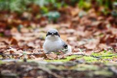 Great grey Shrike in search of food. Predatory passerine birds. Butcher-bird Lanius excubitor in search of food - it catches mice, lizards. Latin Lanius means Royalty Free Stock Photos