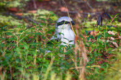 Great grey Shrike in search of food. Predatory passerine birds. Butcher-bird Lanius excubitor in search of food - it catches mice, lizards. Latin Lanius means Royalty Free Stock Photography