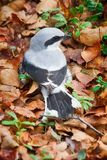 Great grey Shrike in search of food stock photos