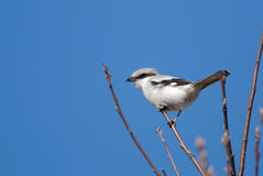 Great grey shrike. Swaying on a branch Royalty Free Stock Photo