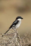 Great grey shrike watching for pray Stock Image