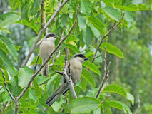 Great grey shrikes in the branches Stock Image