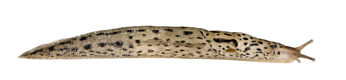 Great Grey Slug - Limax maximus Stock Images
