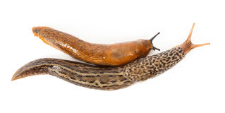 Great grey slug and Spanish slug Stock Photography