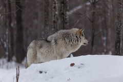 Great Grey Wolf Royalty Free Stock Photography