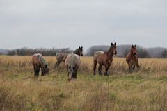 A group of big brown wild horses in the fields. A great group of big brown horses in the fields in the forest Stock Photography