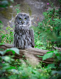 Great gry owl or Lapland Royalty Free Stock Photos