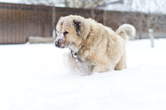 Big guard dog. Great guard dog walks in the snow in winter stock images
