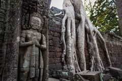 Great Guardian. Within the ruins of Angkor Wat trees and jungle have taken over entire buildings. Ta Prohm, Siem Reap. Cambodia. royalty free stock photography