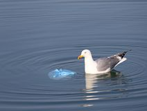 Great  Gull on the sea near a bag of rubbish Stock Photo