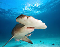 Great Hammerhead Royalty Free Stock Photos
