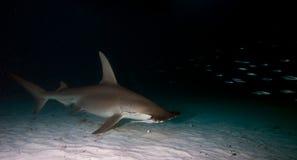 Great hammerhead. In the night,Bahamas Royalty Free Stock Photo