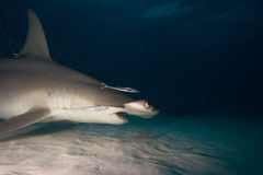 Great hammerhead Stock Images