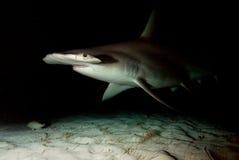 Great hammerhead. In the night,Bahamas Stock Photos