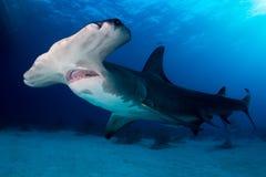 Great Hammerhead shark Bahamas. A Great Hammerhead shark around Bahamas in Tiger Beach Stock Photography