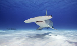 Great Hammerhead Shark, Bahamas. Great hammerhead shark swimming along a white sandy bottom , Bimini, The Bahamas Royalty Free Stock Image