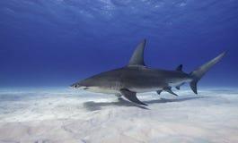 Great Hammerhead Shark, Bahamas. Great hammerhead shark swimming along a white sandy bottom , Bimini, The Bahamas royalty free stock photos