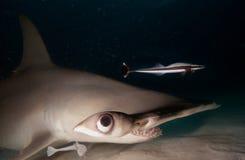 Great hammerhead shark. Night image Stock Photography