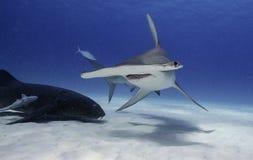 Great hammerhead shark underwater. Underwater view of a great hammerhead shark at Bimin Bahamas Stock Photos