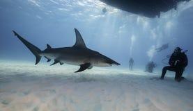 Great hammerhead shark underwater. Underwater view of a hammerhead shark at Bimini, Bahamas Stock Image
