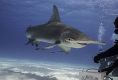 Great hammerhead shark underwater. Underwater view of a hammerhead shark at Bimini, Bahamas Royalty Free Stock Image