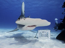 Great hammerhead shark underwater. Royalty Free Stock Photos