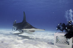 Great hammerhead shark underwater. Underwater view of a hammerhead shark at Bimini, Bahamas Stock Photo