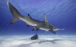 Great hammerhead shark underwater. Underwater view of a hammerhead shark at Bimini, Bahamas Royalty Free Stock Photo
