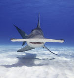Great Hammerhead Shark Royalty Free Stock Image