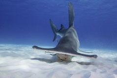 Great Hammerhead Shark. Underwater view of a great hammerhead shark swimming along a white sandy bottom in Bimini, The Bahamas Royalty Free Stock Photo