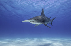 Great Hammerhead Shark. Underwater view of a great hammerhead shark swimming along a white sandy bottom in Bimini, The Bahamas Royalty Free Stock Photography