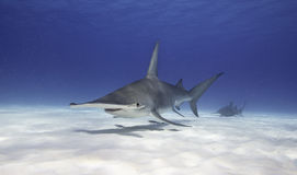 Great Hammerhead Shark. Underwater view of a great hammerhead shark swimming along a white sandy bottom in Bimini, The Bahamas Stock Photography