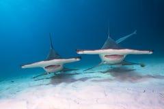 Great hammerhead sharks. Couple of Great hammerhead shark Stock Photos