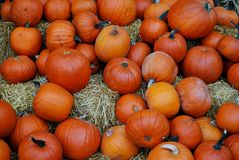 Great harvest of pumpkins on hay. Halloween is com Royalty Free Stock Photography
