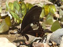 Great Helen Butterfly On the floor. The Great Helen Butterfly On the rocks with many butterflies stock image