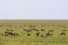 Great herds in savanna of Serengeti. Tanzania, Africa. Great herds in savanna of Serengeti. Tanzania, Eastest Africa Stock Photography