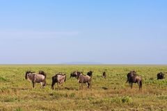 Great herds in Serengeti. Tanzania, Eastest Africa Royalty Free Stock Photo