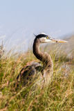 Great Heron Royalty Free Stock Photography
