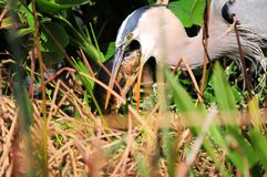 Great heron eats big fish Royalty Free Stock Photos