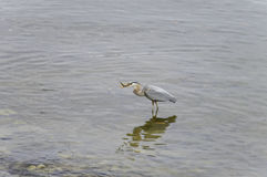 Great heron with fish in beak Stock Images