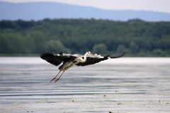 The Great Heron in flight over the Danube Royalty Free Stock Photos
