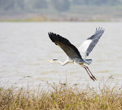 Great heron flying over the lake Stock Images