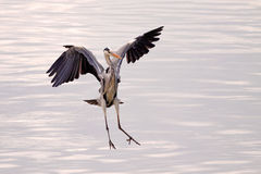Great heron flying Royalty Free Stock Photo